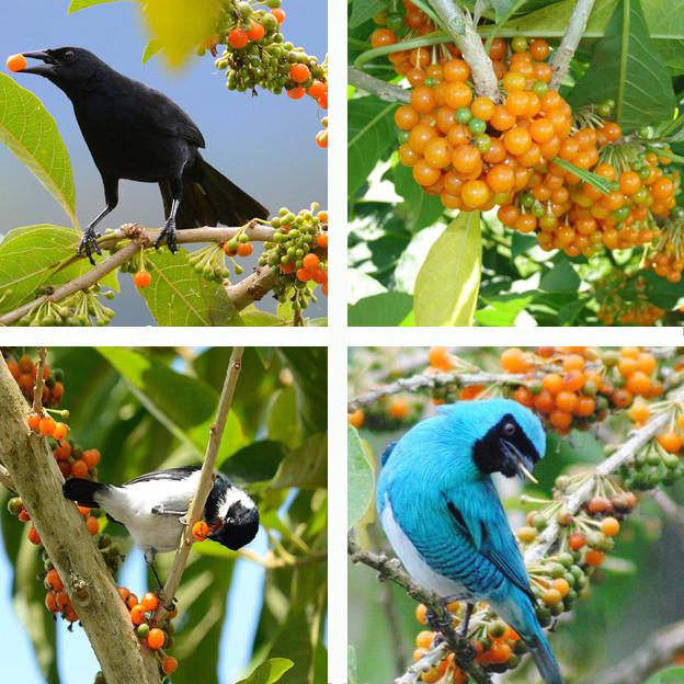Sementes Fruta do Sabiá