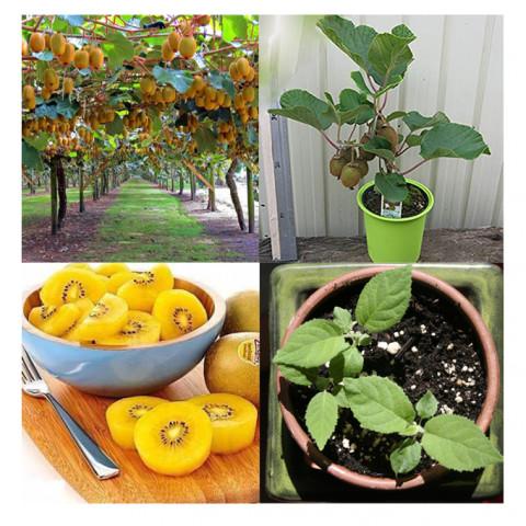 Kiwi Gold Amarelo para Vasos - 10 Sementes Frescas