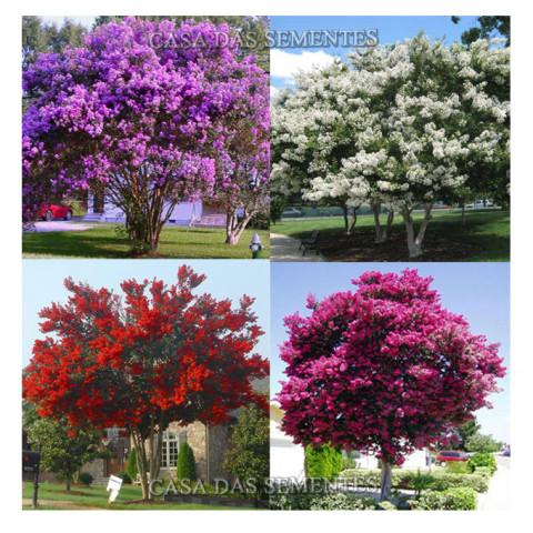 Kit Resedá Anã Mix - Cores Sortidas Árvore para Calçada