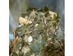 Canela de Velho ( Miconia Albicans)
