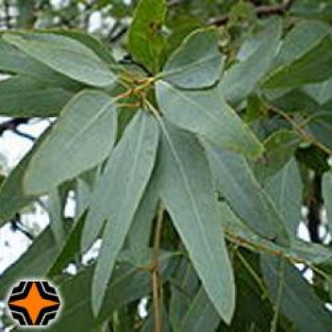EUCALIPTO STAIGERIANA - 100 ml