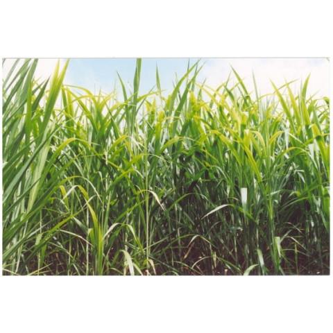 CAPIM CANARÁ (Resistente a seca) 500 MUDAS