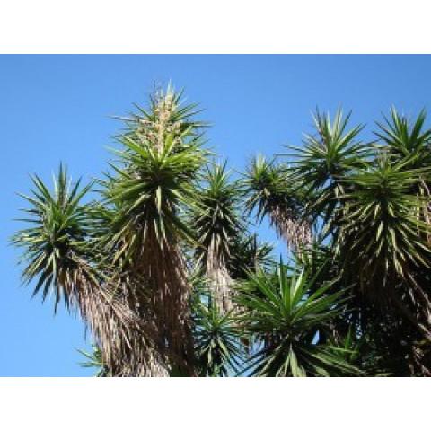 Iuca-gigante – Yucca gigantea (30 sementes)