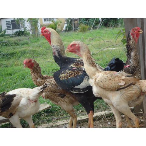 Ovos galados linhagem caipira melhorada