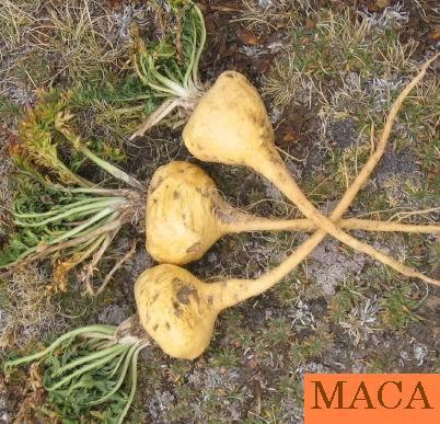 Maca Peruana 500mg (90 doses)