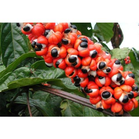 Guaraná 500mg (180 doses)