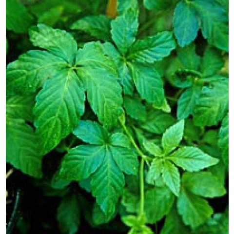 Gynostemma Pentaphyllum 150mg (60 cápsulas)